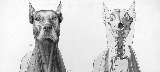 Anatomia del cane