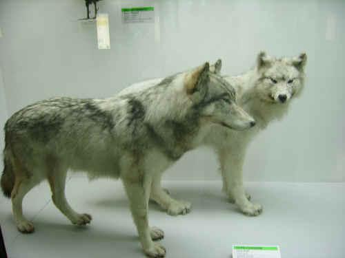 Lupi canadesi&; - foto fatta al museo di storia naturale di milano
