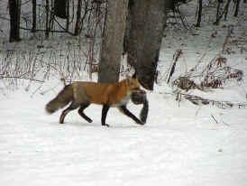 Volpe rossa comune for Dove vive la volpe