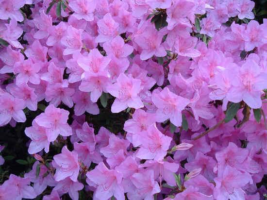 Attenzione quali sono le principali piante tossiche per i - Azalea foglie ...