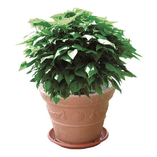 catambra la pianta antizanzara