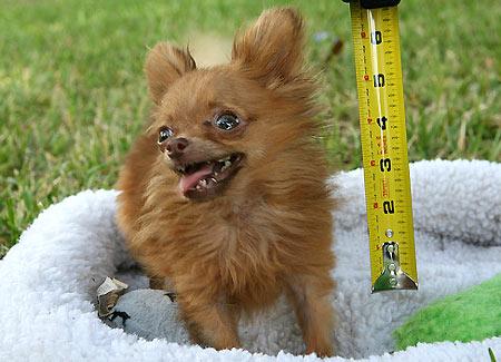Guinness dei primati il cane pi alto e il cane pi basso for Il piu alto dei cieli cruciverba