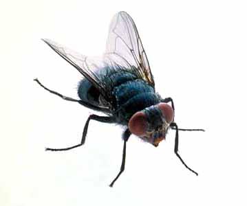 Ricerca sulla mosca insetto