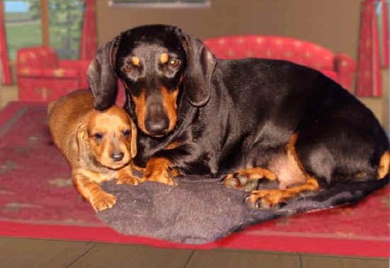 Storia del bassotto tedesco for Bassotto cane